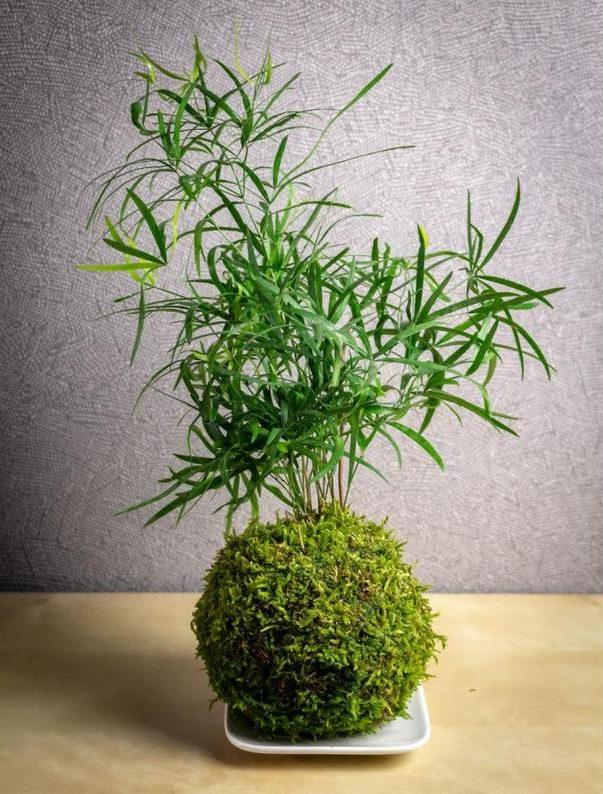 Kokedama plante Asparagus Falcatus - Boutique Etsy Faites une fleur France